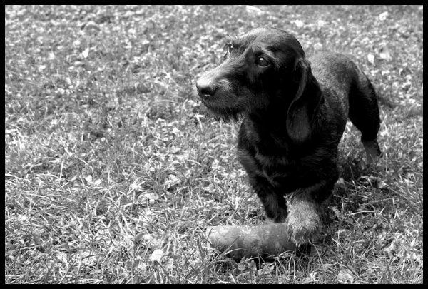 In Memoriam: Gauner als junger Hund