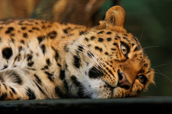Liegender Amurleopard, Portrait