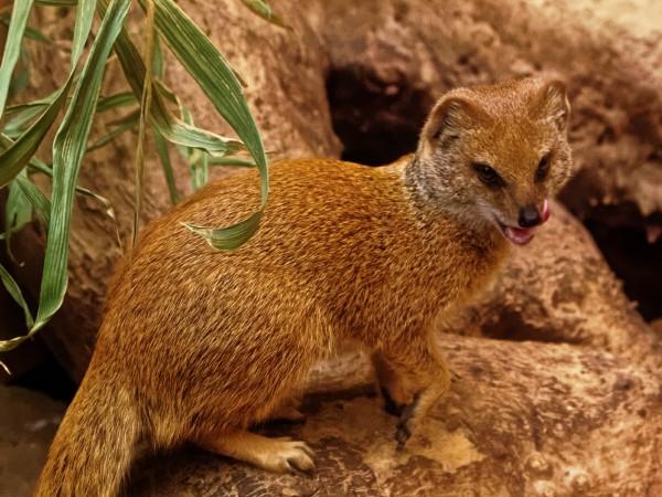 Tierfotografie im Zoo: Fuchsmanguste die sich das Mäulchen schleckt