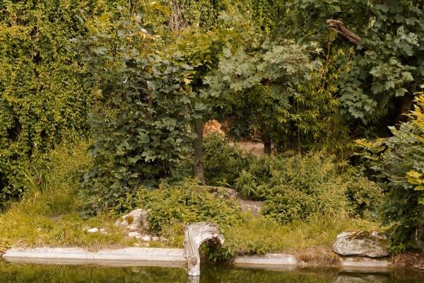 Löwe Lolek in seinem neuen Gehege, versteckt hinter blickdichtem Bewuchs