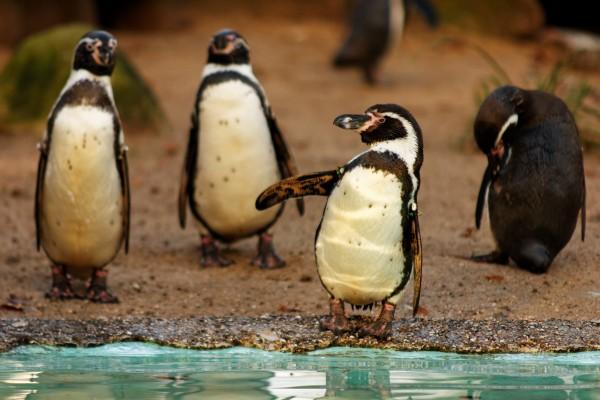 Pinguine bei der Morgentoilette