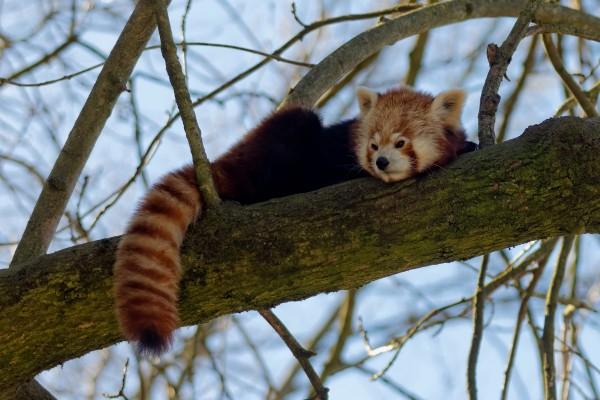 Kleiner Panda (Roter Panda, Katzenbär) an einem schönen Wintertag