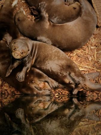 Riesen-Otter beim Kuscheln