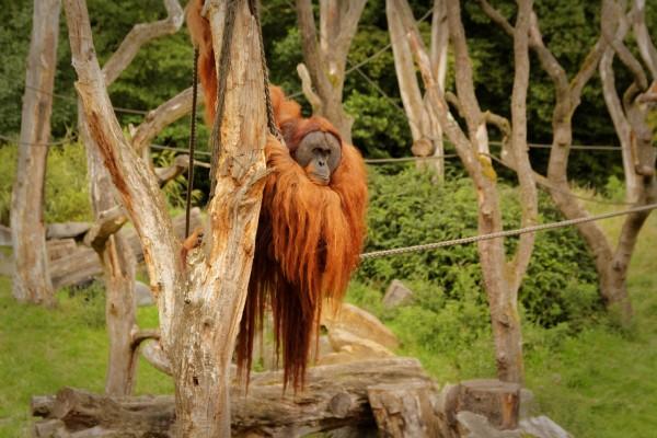 """Orang-Utan hängt so rum. Freigehege des Regenwaldhauses """"Rumah Hutan"""""""