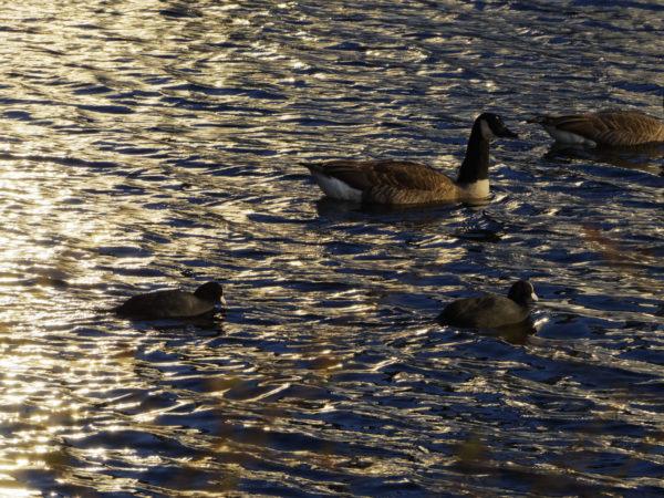 Enten auf dem See