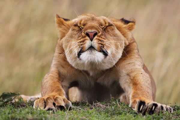 Eine Löwin räkelt und streckt sich