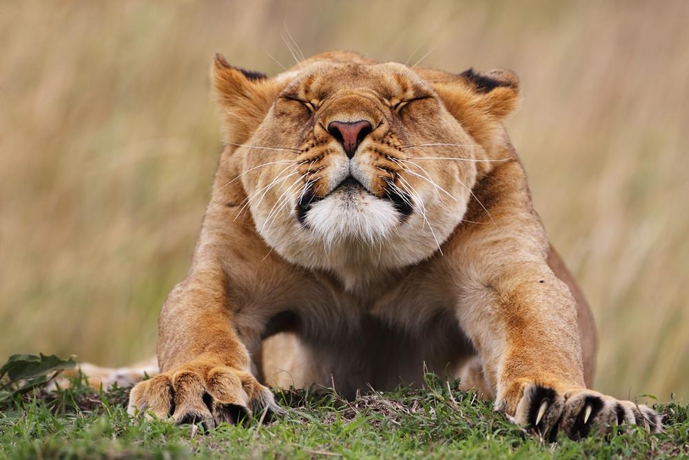 Eine Löwin räkelt und streckt sich mit zugekniffenen Augen im Gras, direkt in Richtung Kamera.