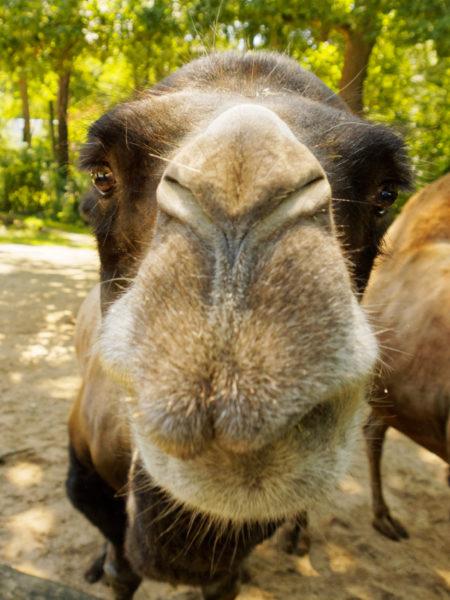 Closeup eines Kamels, das direkt in die Kamera schaut